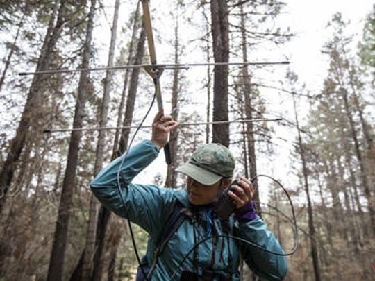 Melissa Merrick uses a radio receiver and directional antenna to track red squirrels wearing radio collars on Mount Graham on Tuesday, Nov. 7, 2017 in the Coronado National Forest. Merrick, a Senior Wildlife Biologist at the University of Arizona, researches red squirrels in the Pinaleño Mountains, where an estimated 35 remain after being devastated by the Frye Fire.