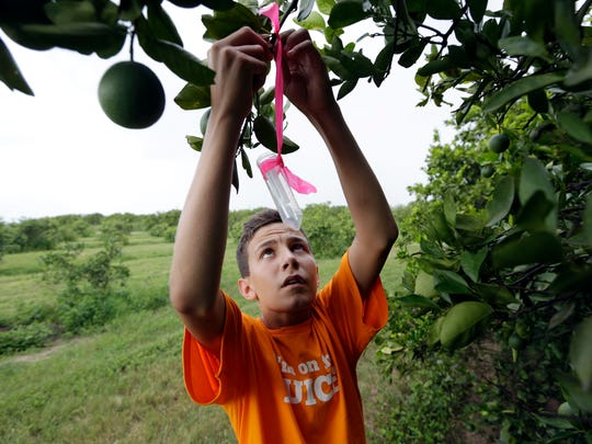Nick Howell, 13, a member of the McLean family who owns Uncle Matt's organic orange juice company, places a vial containing the tamarixia wasp to release in their orange groves in hopes of combating the citrus greening disease, in Clermont, Fla.