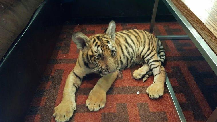 A tiger cub was found wandering around a California