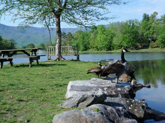 Canada geese, which gather in large numbers at Lake Tomahawk and the Black Mountain Golf Course, carry diseases that can be transmitted to humans and other animals through feces.