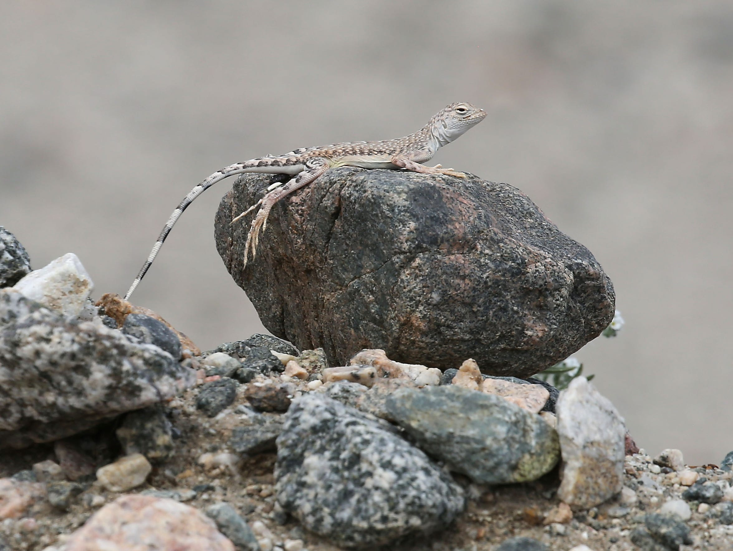 A zebra-tailed lizard in the Mojave Desert.