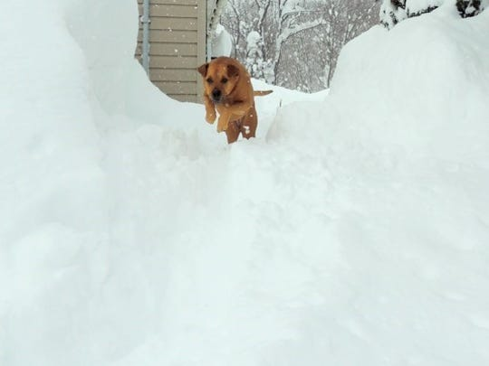 Carol Yerdon's dog, Rose, romping in the snowdrifts.