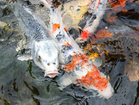 Koi fish swim in a man made pond at the LaGrangeville
