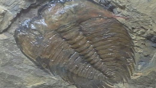 An Olenellus trilobite from the Cityview Community Church site.