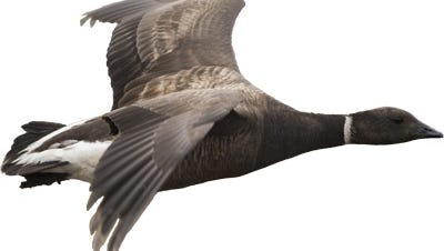 A black brant goose