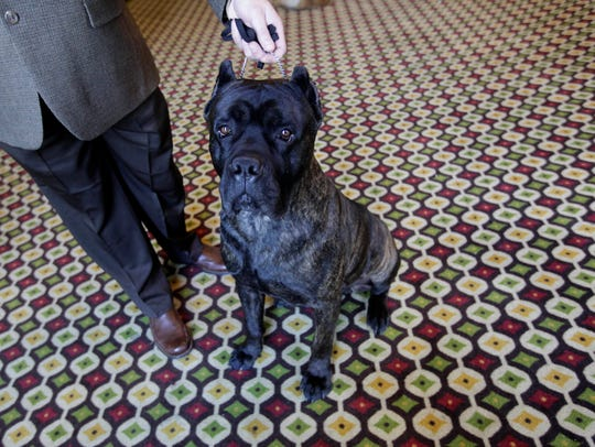 Chopper, a Cane Corso is shown during a news conference