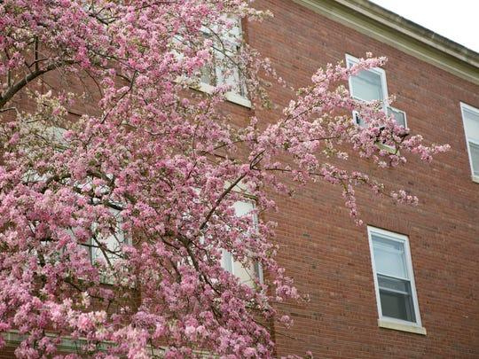 Crabapple blossoms at the Tomah Veterans Affairs Medical