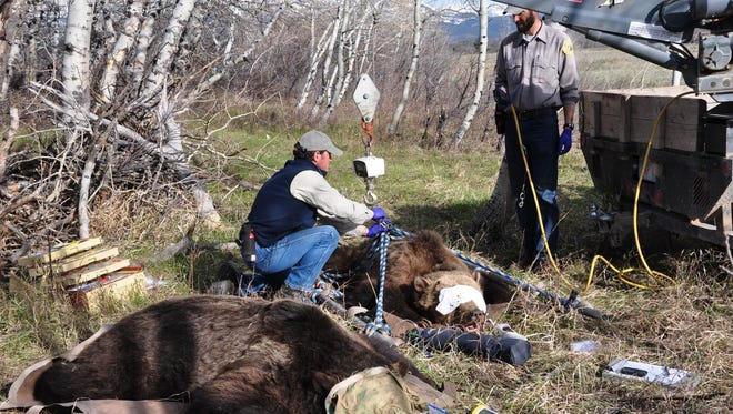 Mike Madel, a grizzly bear management specialist with Montana Fish, Wildlife and Parks, prepares to weigh one of two grizzly bears captured on the Pine Butte Swamp Preserve in 2014.