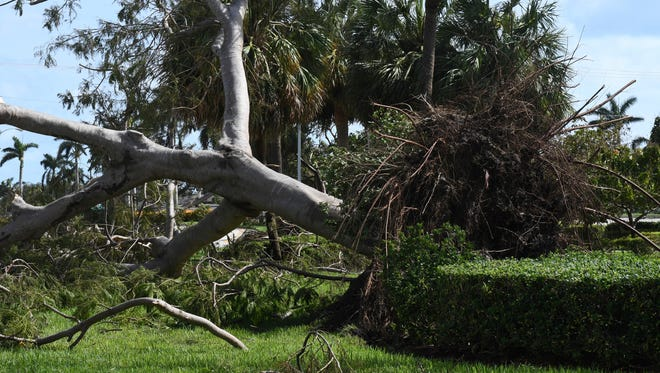 A royal poinciana tree  upended by Hurricane Irma in Boca Raton, Fla., lays along Federal Highway.