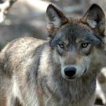 Letter: Propaganda used to make the wolf look bad
