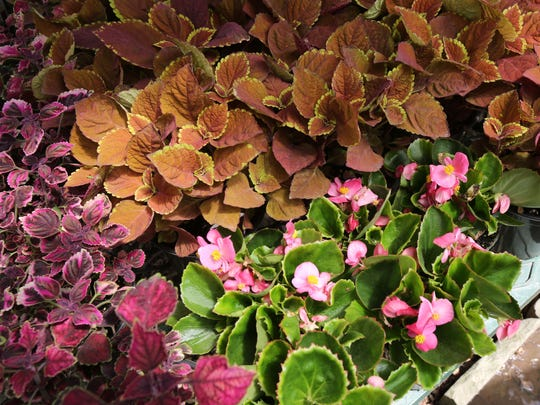 Coleus and begonia are good plants for the shade, as seen here at Gedney Farms Nursery in White Plains. They also carry New Guinea Impatiens that are resistant to the downy mildew disease.