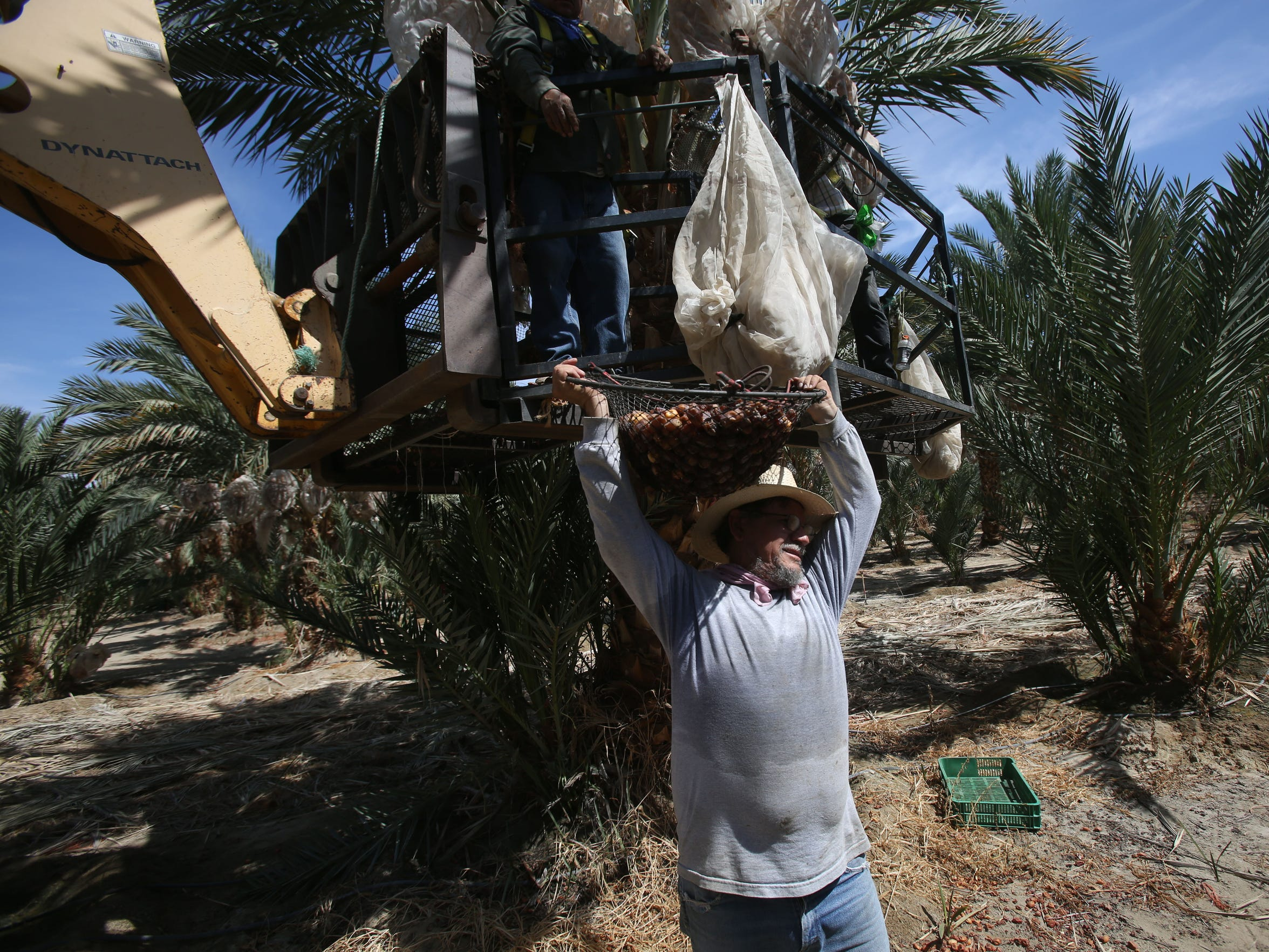 Dates are harvested by farmers in 90 degree weather near Mecca, California. Despite the heat, farmers wear full sleeve clothing to prevent losing fluids through perspiration.