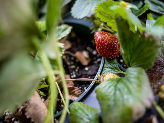A strawberry is seen growing Saturday, May 14, 2016 at the Vantage Point Farmers Market in Port Huron.