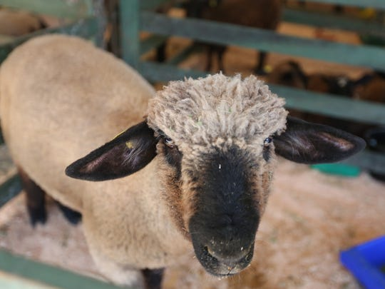 81st Annual Marion County Lamb & Wool Show: A day of fun with 4-H & FFA events, craft vendors, an ice cream vendor, children's classes and plants for sale, 8 a.m. to 3 p.m. June 2, Turner Elementary School, 7800 School St., Turner. Free parking and admission.