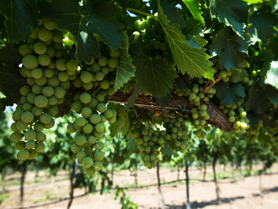 Sangiovese grapes found at Rio Grand Winery and Vineyard,