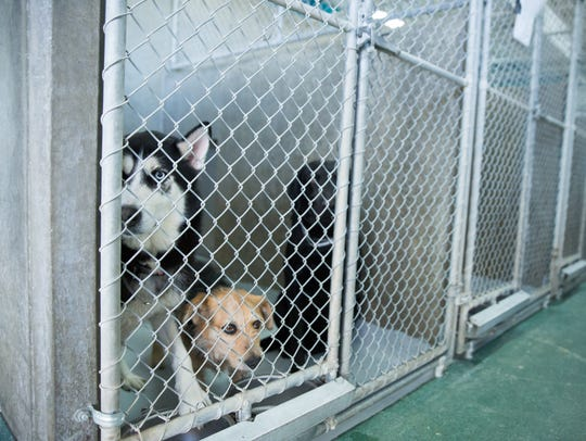 Dogs available for adoption sit and look out of their