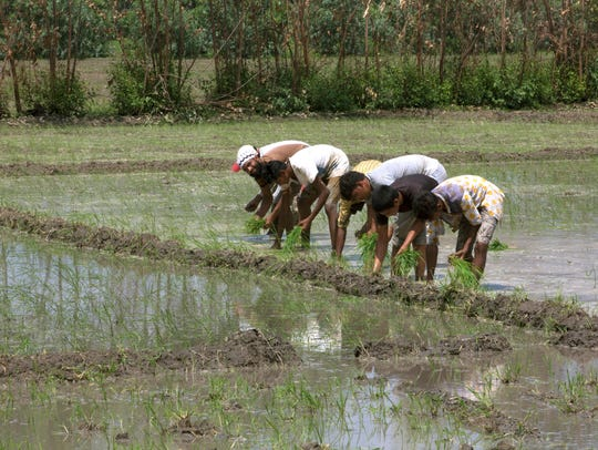 In this July 14, 2017 photo, villagers work in rice