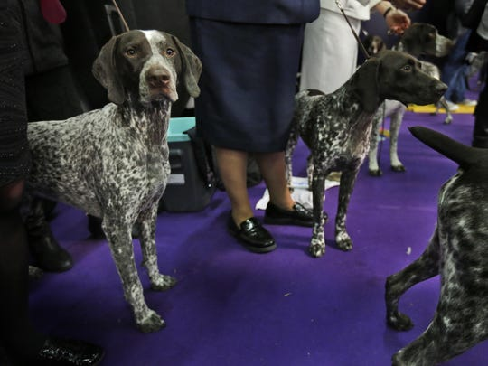 German shorthaired pointers wait to enter the ring