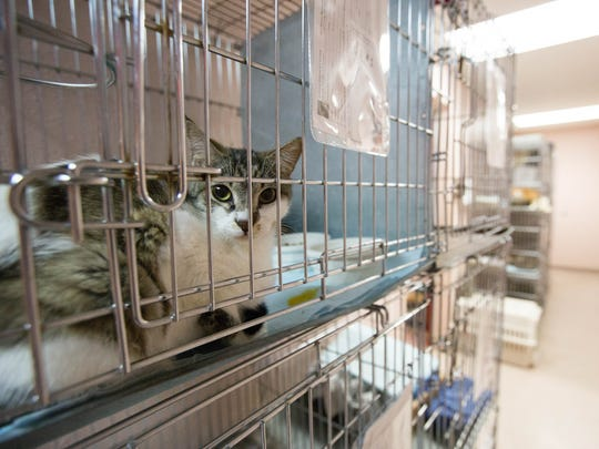 Cages line a hall way in the Animal Service Center of the Mesilla Valley  where recently over 120 cats were taken in by the Animal Service Center of the Mesilla Valley. Many of the cats came from a hoarding situation in the county. Friday April 27, 2018.  A Majority of the cats will be made availible for adoption.