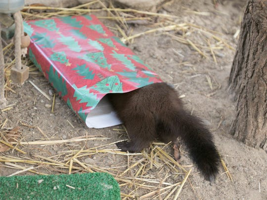 Once Rio's curiosity got the better of him, he put his all into finding the treat inside a package left to him for Christmas Tuesday, Dec. 5, 2017 at the Howell Nature Center.