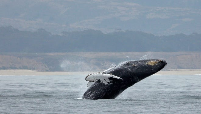 In this Aug. 7 photo, a humpback whale breaches off Half Moon Bay. The 2017 year was a tough one for whales getting entangled in fishing gear and other debris. Teams were able to free nearly a third of those that were found.