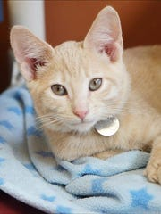 Little Foot, 5-month-old male domestic short hair kitten. No. 97156.