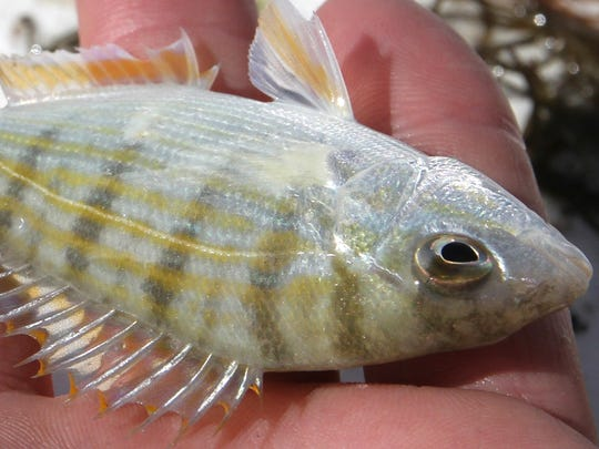 Vester director Darren Rumbold wants to start spawning pinfish in captivity at the field station and needs at least 30 to get the project started.