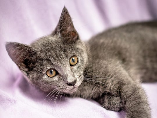 Miney - Female domestic shorthair, about 3 months old.Intake