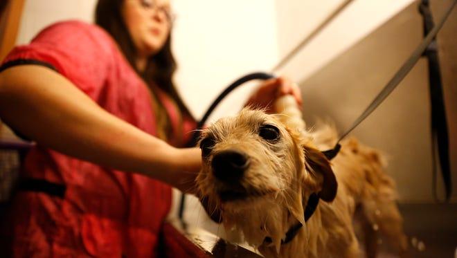 Britani Warner bathes Ludu on  Monday at her pet grooming business, Scissors and Sudzs Pet Salon in Farmington.