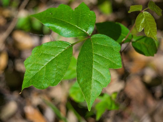 """""""Leaves of three, let it be"""" – there's great value to the old saying."""