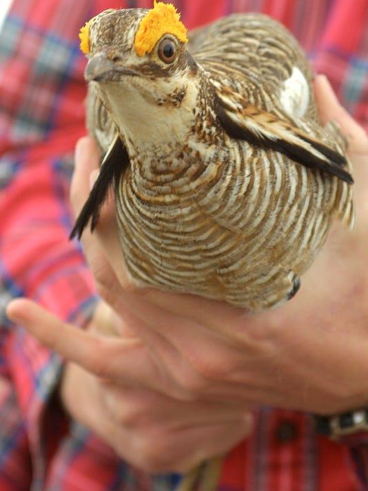 Lesser Prairie Chicken.jpg