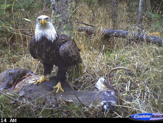 Bald eagles feed mainly on fish, but also feed on dead