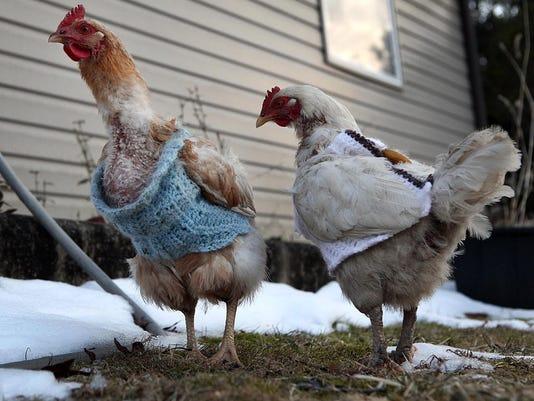 Chicken_sweaters_0005 (2).jpg