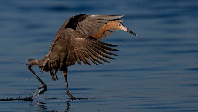 """A reddish egret feeds.  Dr. Kenneth Meyer, from the Avian Research and Conservation Institute in Gainesville, is conducting a tracking study on five reddish egrets. He will give a talk Jan. 29 at J.N. """"Ding"""" Darling National Wildlife Refuge, in Sanibel."""