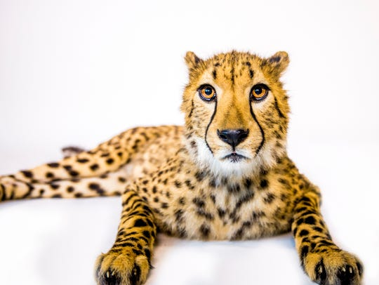 Donni poses for a portrait. Donni is one of 339 cheetahs