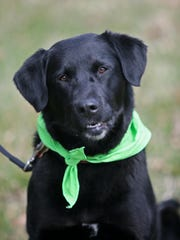 Paisley is a female black Labrador retriever.