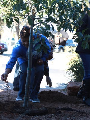 Olivia Aguirre tosses dirt over a newly planted tree in memory of her nephew Aaron Allen. Chili's planted a tree for Allen, a former employee, who was killed in a crash in 2014.  shot/archived 1207