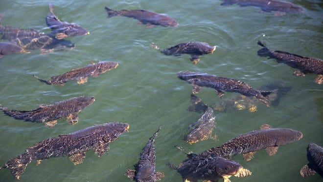 Carp are seen in Navajo Lake at the marina.