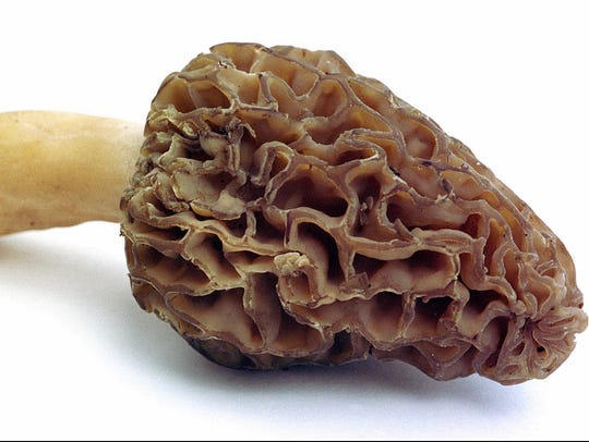 The famous morel mushroom, a staple of Hoosier diets