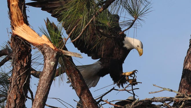 The famous eagle cam nest on Dick Pritchett Real Estate in North Fort Myers came away relatively unscathed after Hurricane Irma. Harriet and M15 were seen Friday 9/22/2017 bringing nesting material to the nest.