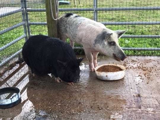 Two pigs captured in Lehigh Acres over the past few