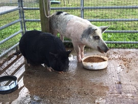 Two pigs captured in Lehigh Acres over the past few months will be taken to auction in Arcadia on Friday.