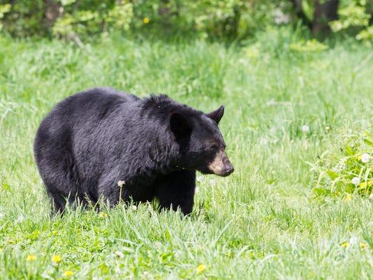 Adult North American Black Bear