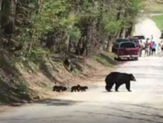 Screen capture from video of mama bear and cubs in