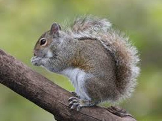 Some folks are concerned about fewer gray squirrel sightings this year.