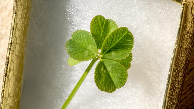 Karen Martos' rare six-leaf clover sits in a small box Monday at her home in Morton. Martos has made a habit of looking for elusive four-leaf clovers whenever possible, but Monday she came across one even more unusual in a small patch in her backyard.