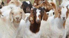 Texas A&M AgriLife will seek sheep and goat producer input for a possible sore mouth study at a March 1 meeting in San Angelo.