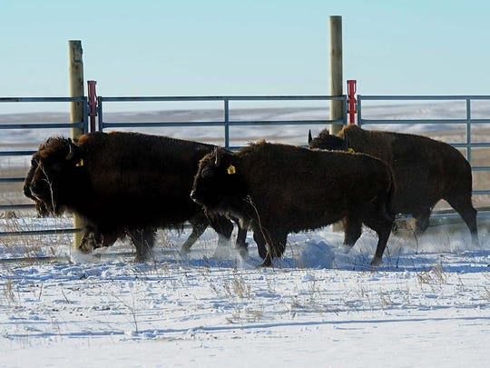 Bison are reintroduced on the Fort Peck Reservation in 2014.