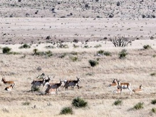 A herd of pronghorn are at home on the plains in Lincoln