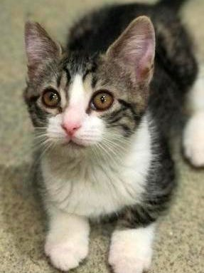 Tala is a 9-week-old that has brown striped tabby fur on most of her body, with white fur on parts of her face, chest and belly.